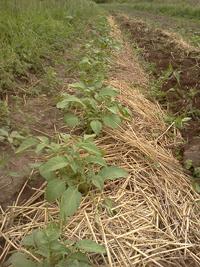 uzgoj krumpira