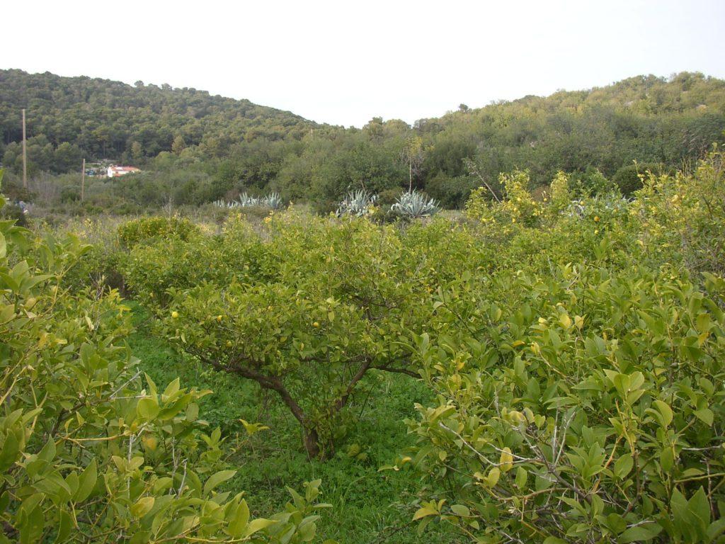 uzgoj limuna u dalmaciji