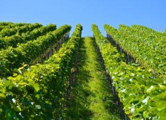 naslijeđeni vinograd