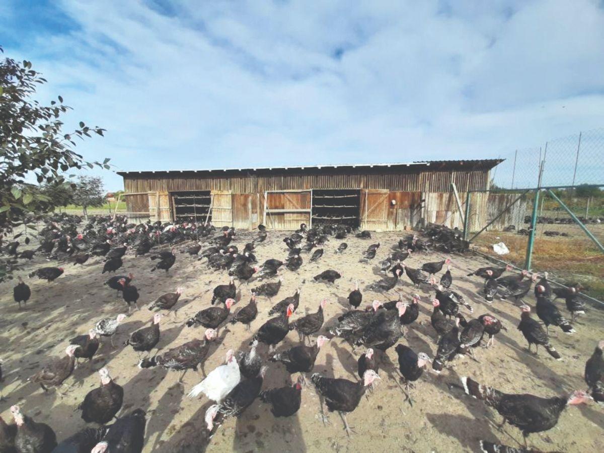 uzgoj zagorskih purana
