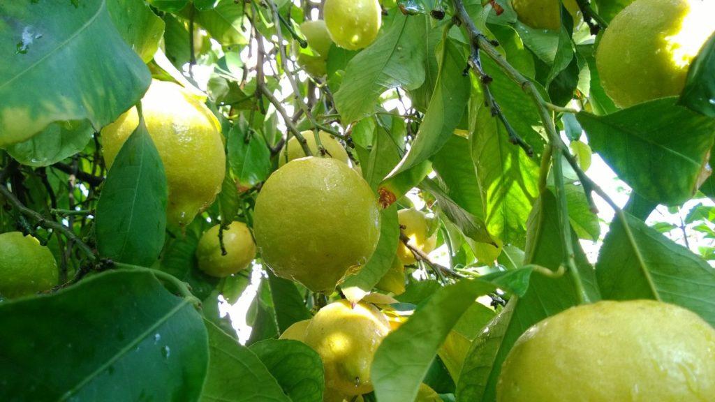 uzgoj limuna u hrvatskoj