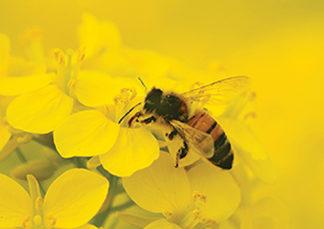 medonosno bilje za pčelinju pašu
