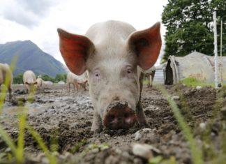 afrička svinjska kuga hrvatska