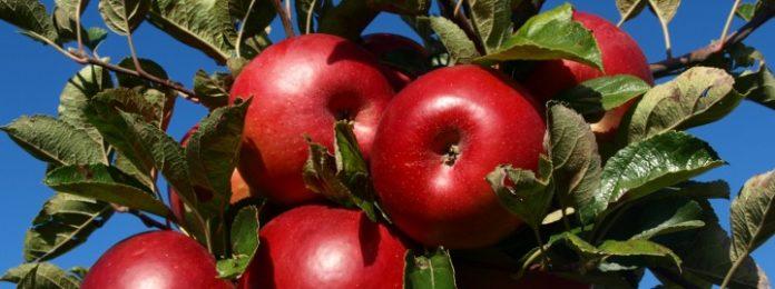 jabuka crvenika