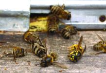francuska zabranila svih pet pesticida koji uzrokuju smrt pčela