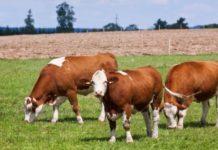 simentalac uzgoj goveda