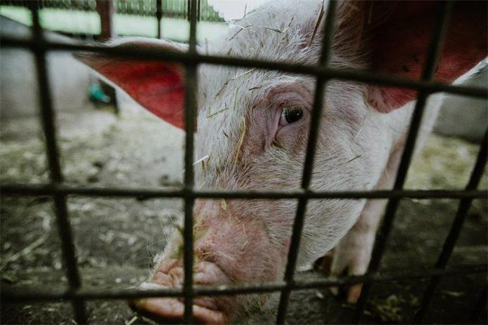 2 milijuna kuna za svinje