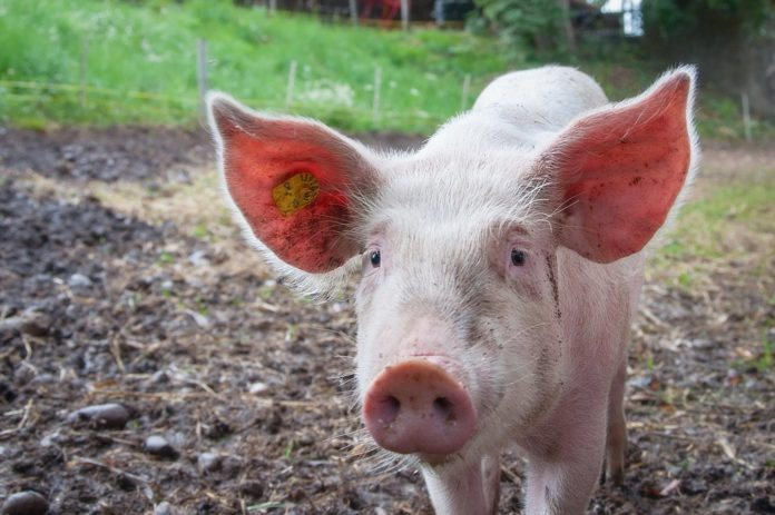 hrvatska slobodna od svinjske kuge