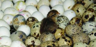 inkubiranje prepeličjih jaja