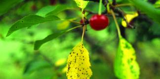 kozičavost lišća trešnje
