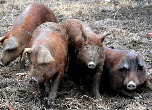 afrička svinjska kuga