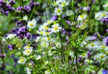 trajnice jesenske cvatnje