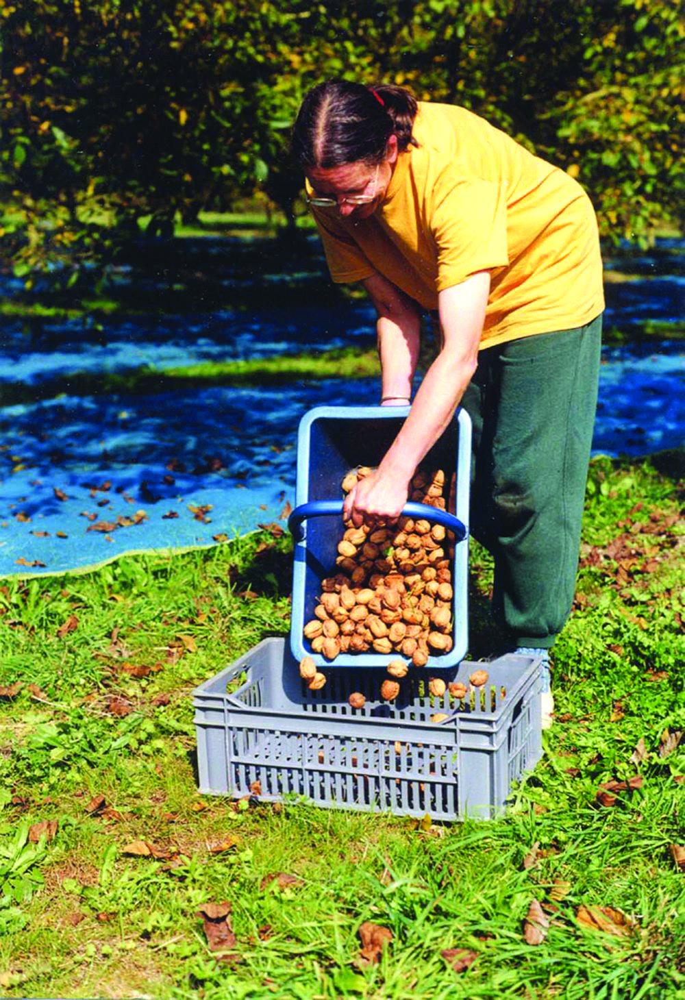 korist od uzgoja oraha