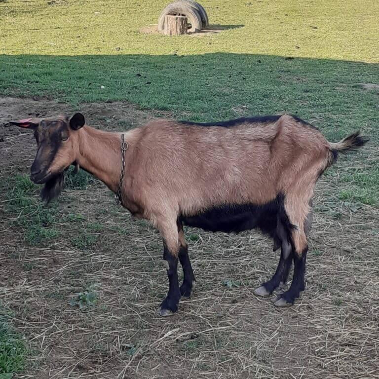 koze francuska alpina