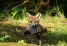 akcija oralne vakcinacije lisica