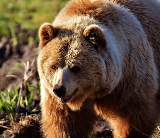 obustava lova medvjeda