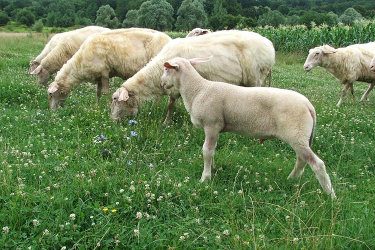 potpore uzgajivačima ovaca i koza