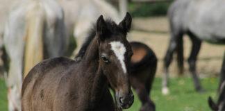 potpore sektoru konjogojstva poticanje toplokrvnih pasmina konja