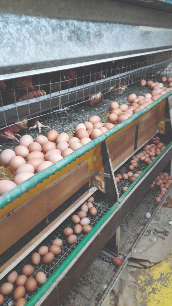 slobodno držanje kokoši