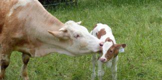 dobit od uzgoja krava-tele