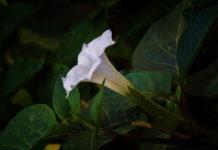 biljke koje cvatu noći