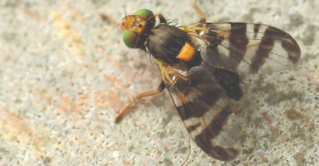 trešnjina muha