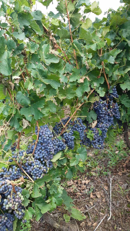 Prodajem crno grožđe MERLOT