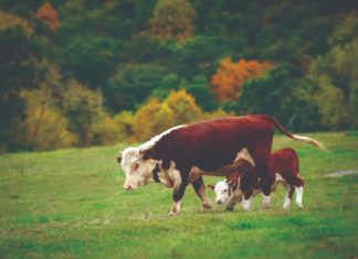 sustav krava tele
