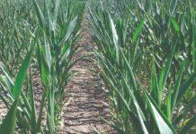zaostajanje kukuruza u rastu i razvoju