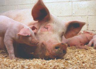 svinje i dobrobit svinja