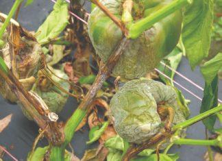 gangrena korjenova vrata paprike