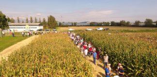 dan polja bc hibrida kukuruza