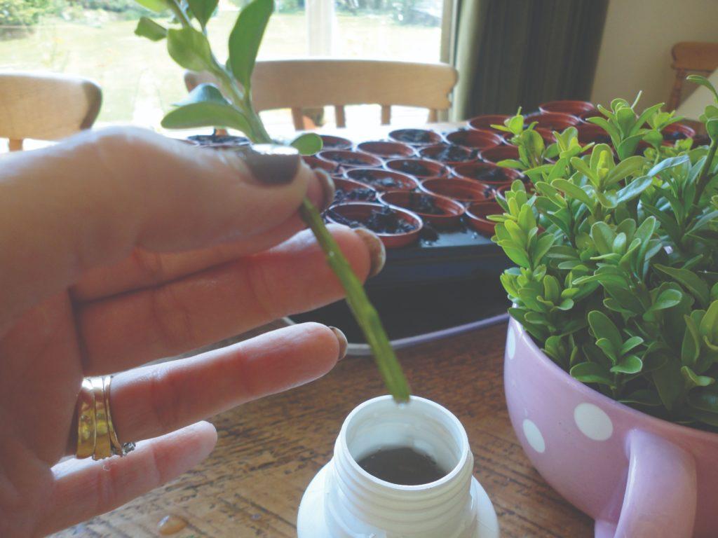 razmnožavanje grma reznicama