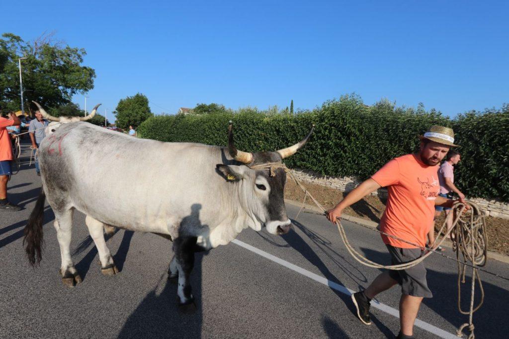 istarsko govedo boškarin