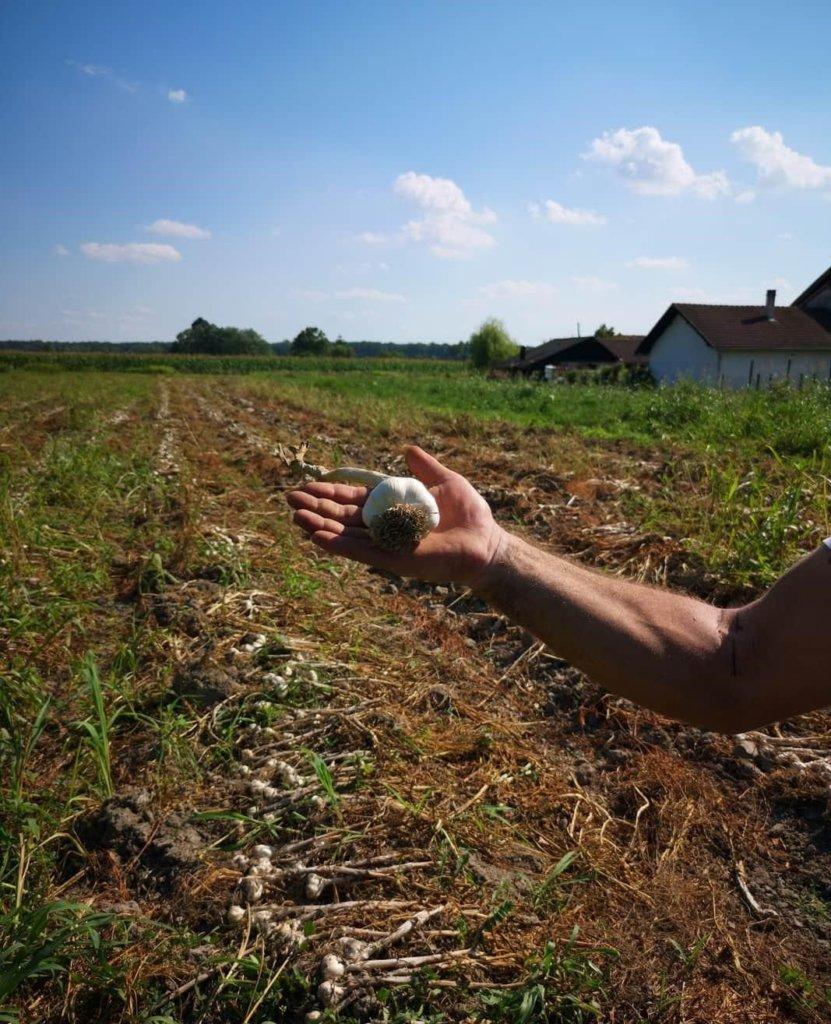 opg gostrec uzgoj češnjaka