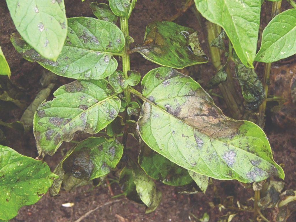 bolesti cime krumpira uzrokovane plamenjačom