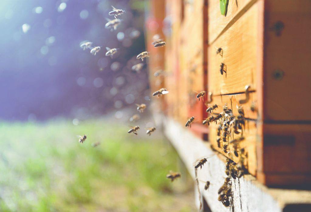 suša i pčele