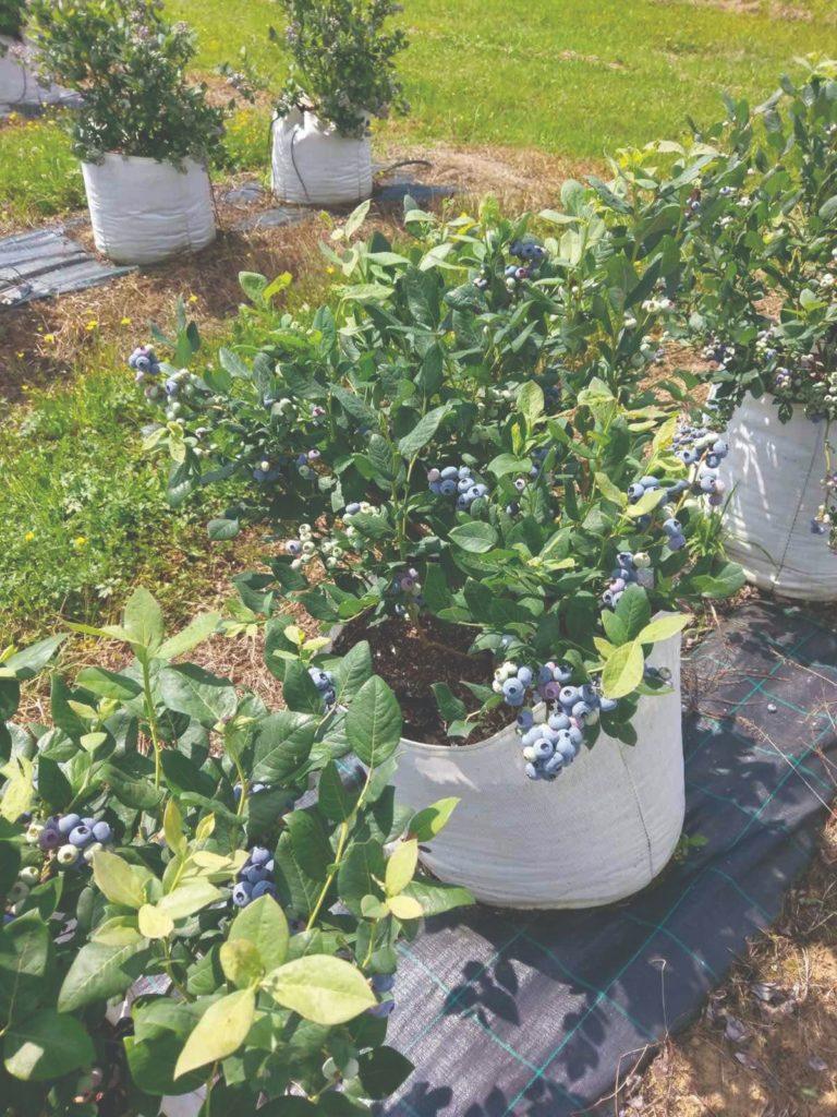 sadnja borovnica i uzgoj borovnica