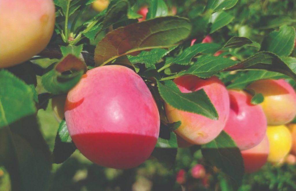 zanimljivo voće