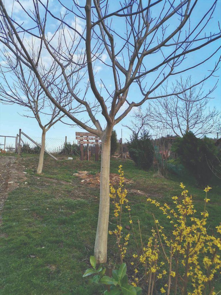 uzgoj oraha i sadnja oraha