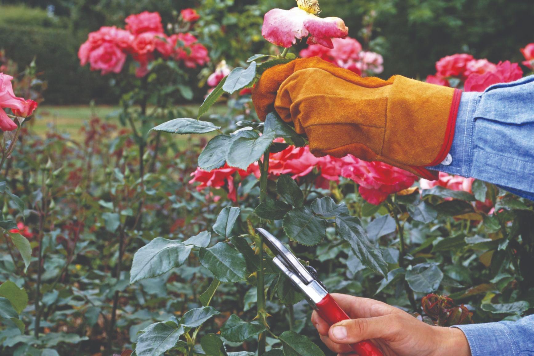 kako orezati ruže orezivanje ruža