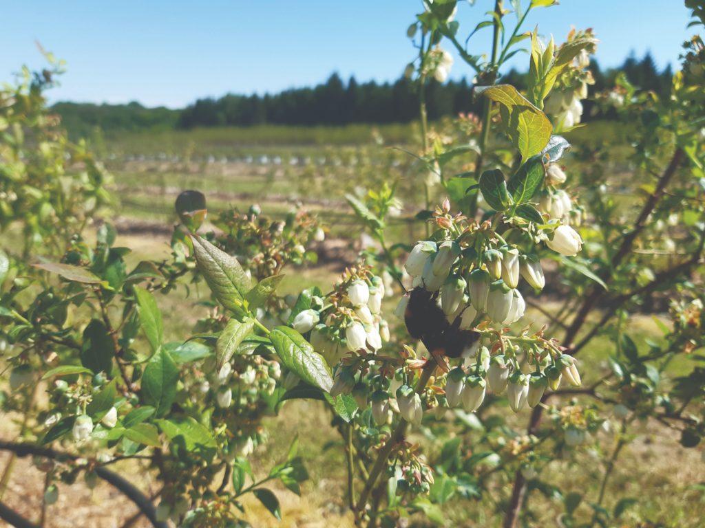 rezidba borovnice