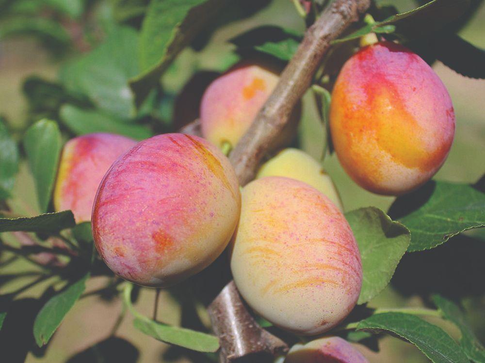 neobično voće