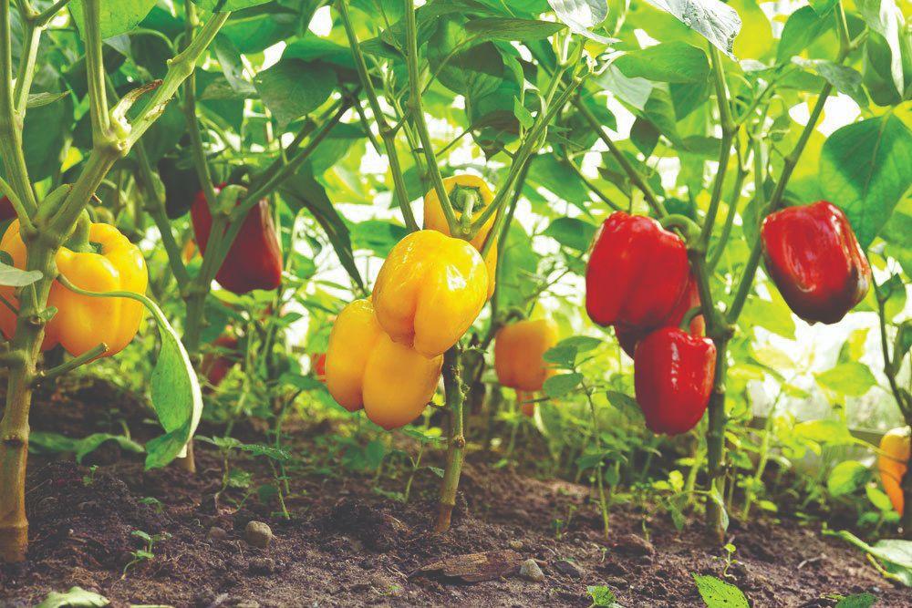 ebra i uzgoj povrća