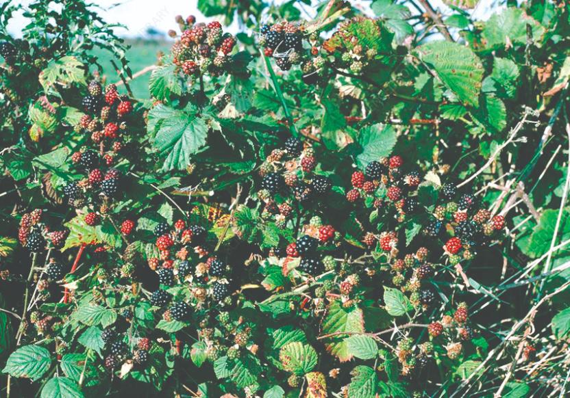 kupina samonikle ljekovite šumske biljke