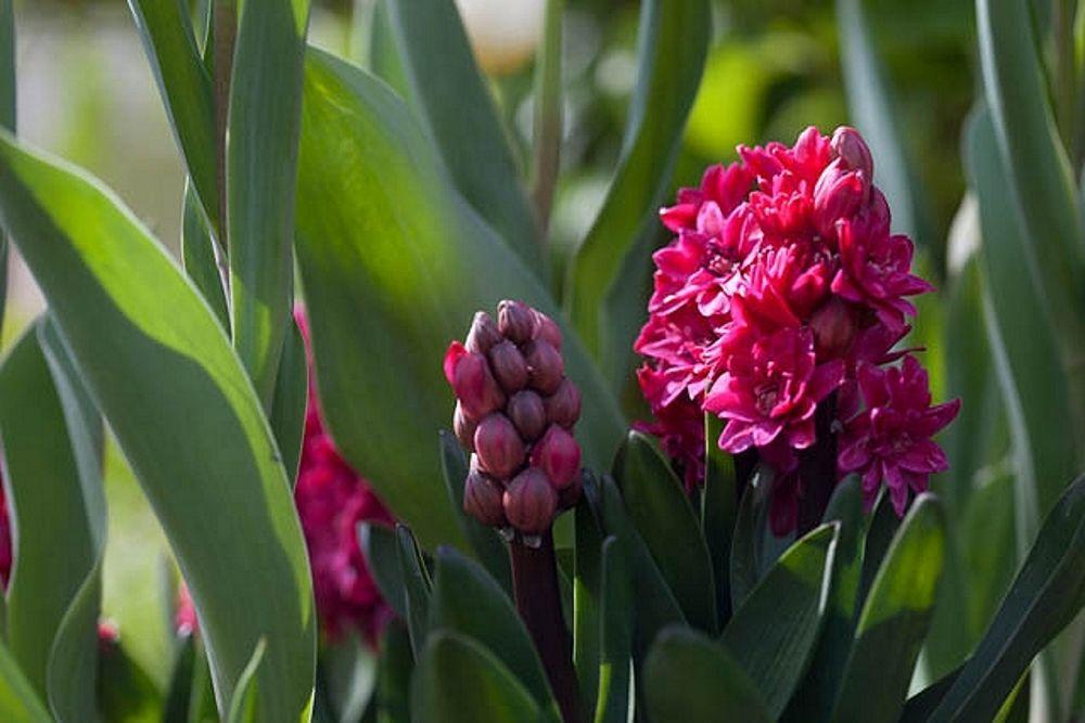 mirisne cvjetne vrste