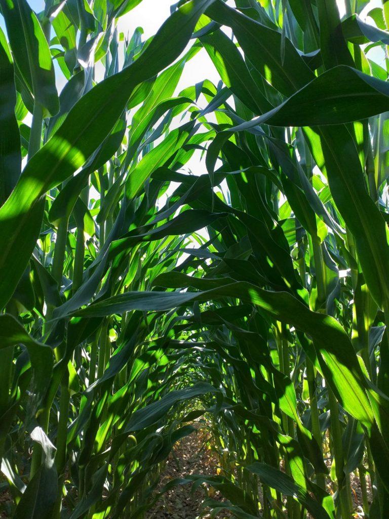 zaostajanje kukuruza