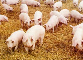 pasmine svinja