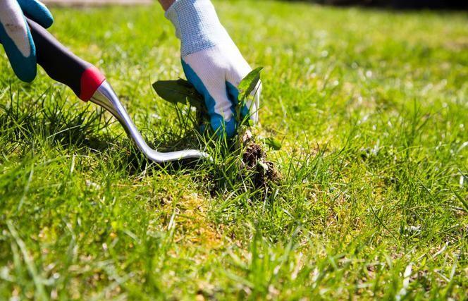 suzbijanje širokolisnih korova na travnjacima