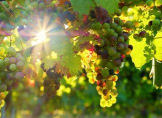 mjere pomoći sektoru vinarstva
